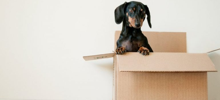 A dog in a box, ready for the long distance move
